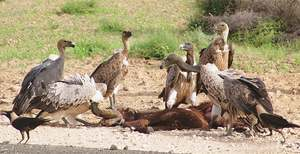 Vulture conservation project launched amid rapid decline in bird's population