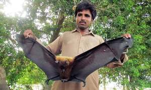 Should we worry about the Megabats in Sindh?