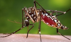Eight dengue cases confirmed in Sindh's Umerkot