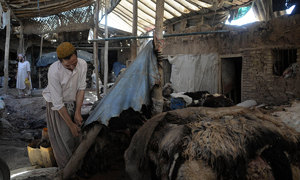 Falling prices of hides causing big loss to traders, butchers in KP