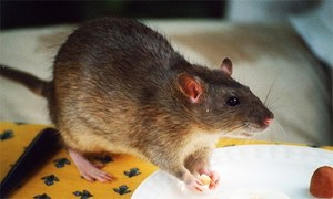 Bangladeshi farmer named national rat-killing champion