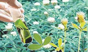 Commercial cultivation of hybrid fodder crops approved