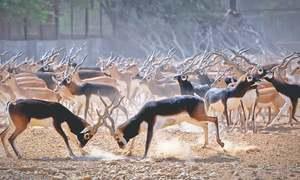 Nilgai, blackbucks, spotted deer become surplus at Safari