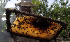 Pakistan is losing its honey bees to climate change