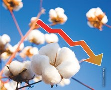 Identifying factors for falling cotton output