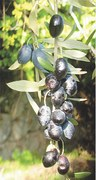 Grow your own olives