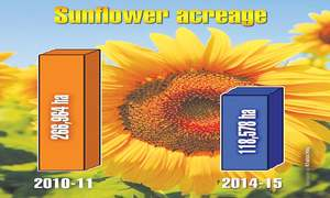 Sunflower crop losing its lustre