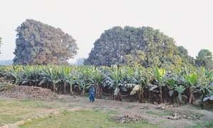 Banana growers see a bumper crop