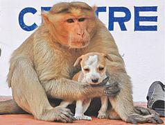 A monkey adopts a puppy