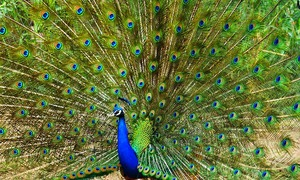 Peacock-culling plan ruffles feathers in India's Goa