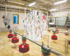 Automation in poultry production