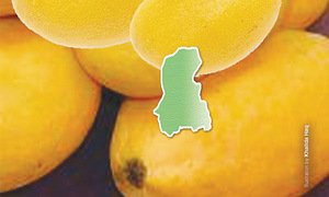 Sindh to produce less mangoes this season