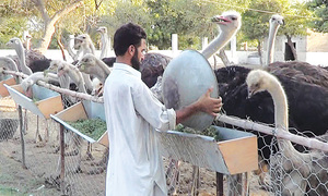 Pulling ostrich out of wildlife category