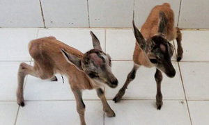 Poachers held with two fawns