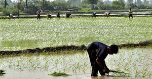South Korea offers help to improve rice cultivation