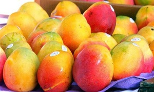 Early mango harvest brings lucrative returns