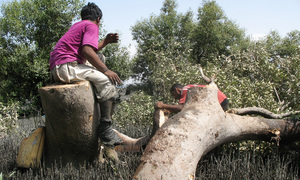 The coast is clear: The vanishing mangrove forest of Karachi