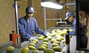 Chinese officials inspect mango HWT plants  in Sindh