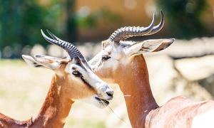 Pakistan's last 'shot' at wildlife preservation – sustainable hunting
