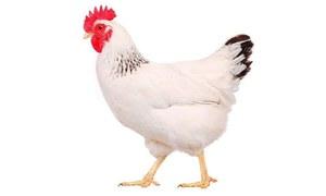 کیا دنیا کا مستقبل مرغیاں بدلیں گی؟