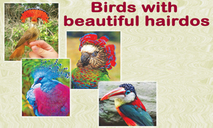 Birds with beautiful hairdos Compiled