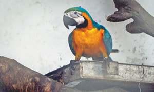 Zoo still insists male macaw didn't die