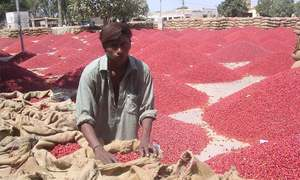 Sindh aims to improve quality of chillies
