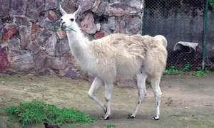 Llama dies at zoo