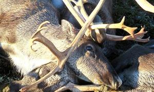 ناروے: آسمانی بجلی گرنے سے 323 ہرن ہلاک