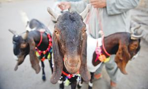 Everything to do with Bakra Eid
