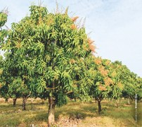 The decline in mango exports