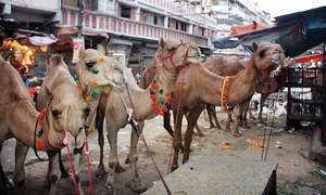 Remittances shore up sacrificial animal sales