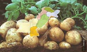 Outlook for the next potato crop