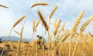 'Poor marketing skills' aggravated the wheat crisis