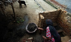 Holy cows, 'unclean' Indians