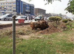 PTI's 'tsunami' hits shisham trees on University Road