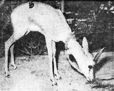 This week 50 years ago: Pet gazelle for zoo