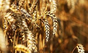 A discussion about wheat