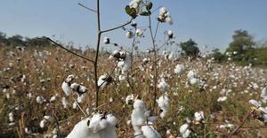 کپاس کی پیداوار میں 36 لاکھ گانٹھوں کی کمی کا تخمینہ