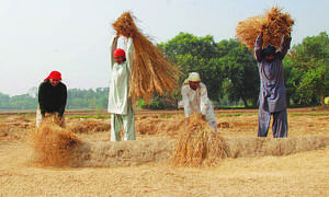 Harvesting losses: Behind the trouble on Punjab's rice farms