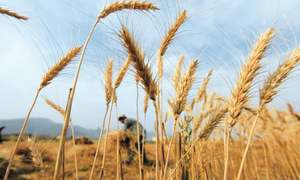 Punjab's farmers reject wheat price proposal
