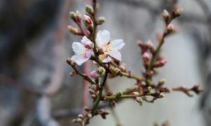 گلگت بلتستان میں پھول تشویش کا باعث کیوں؟