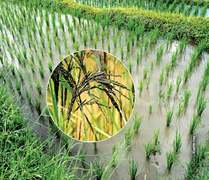 New varieties in rice output and exports
