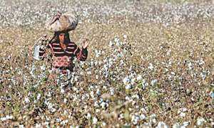 25pc drop in targeted cotton production