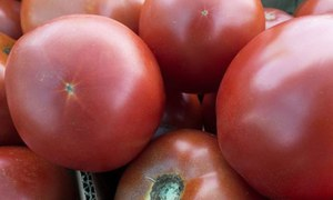 Tomato price likely to normalise in two weeks