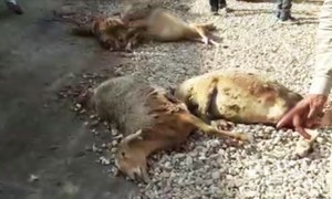 80 sheep crushed to death by speeding truck in Sialkot
