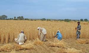 Less rain affects wheat, other Rabi crops yield in Potohar region