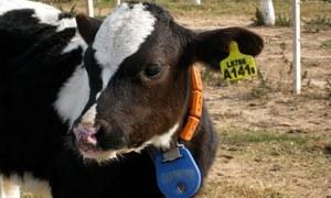 'اب گائیوں کو بھی شناختی نمبر ملے گا'