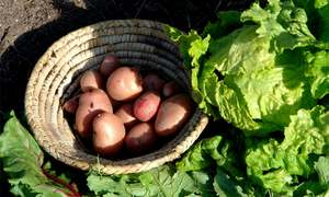 GARDENING: GROWING YOUR OWN POTATOES
