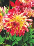 GARDENING: DAHLIAS IN TROUBLE